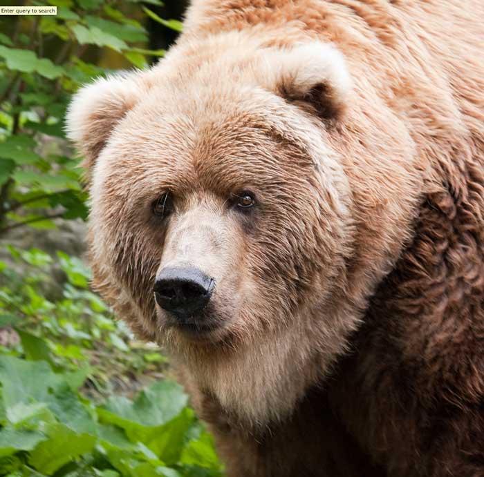 PRICE REDUCED--------KODIAK BEAR HIDE MITTS